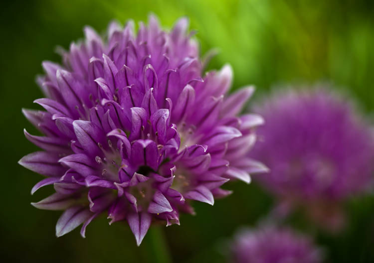 chives750